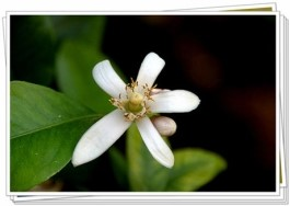 This image has an empty alt attribute; its file name is halla-flower.jpg